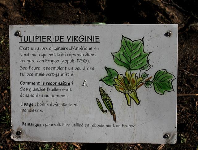 Liriondendron-Tulipier de Virginie (5)