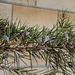 Grevillea rosmarinifolia après les gelées (2)