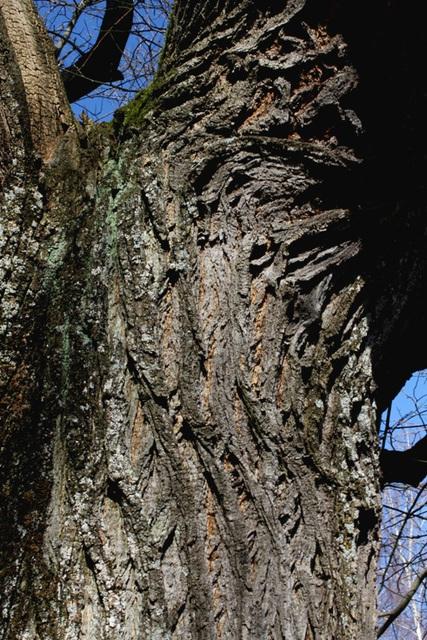 Sophora japonica (2)