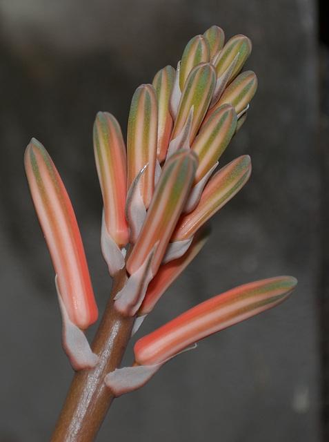 Aloe variegata DSC 0024