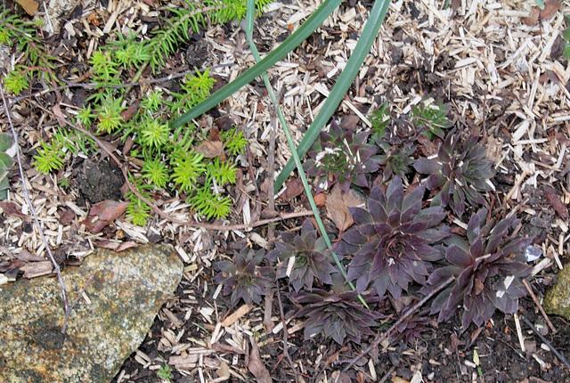 Sempervivum et Sedum rupestre vert