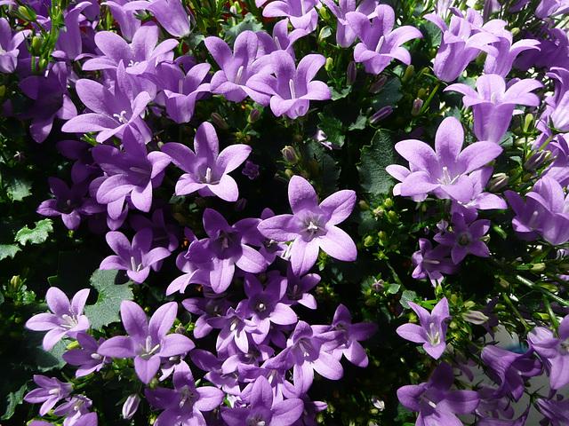 'Campanula' - ein Hauch von Frühling