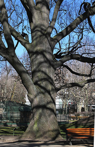 Chêne pédonculé (2)- 150 ans et 30 m de haut
