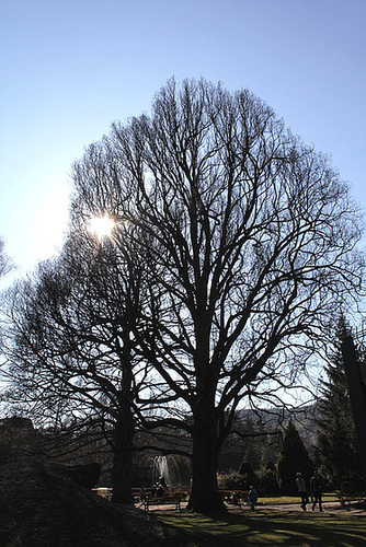 Chêne pédonculé (3)- 30 m