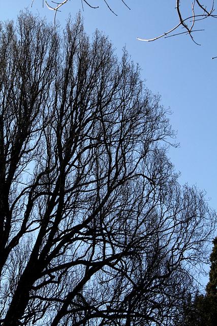 Chêne pédonculé (5)