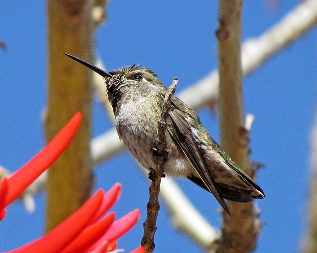 Hummingbird Perched