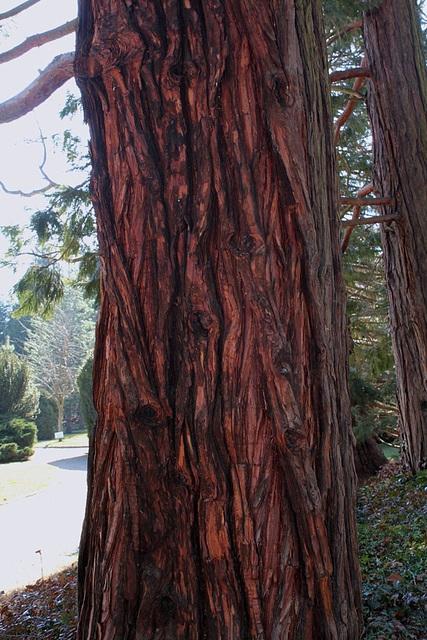 tronc de Chamaecyparis