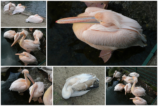 Zoo Dresden - Pelikane
