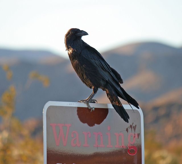 Raven at the Cholla Garden (3719)