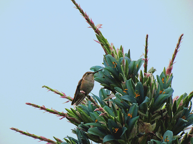 Hummingbird on a Puya