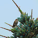 Hummingbird on a Puya