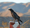 Raven at the Cholla Garden (3720)