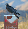 Raven at the Cholla Garden (3721)