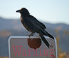 Raven at the Cholla Garden (3724)