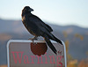 Raven at the Cholla Garden (3725)