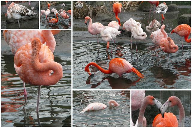 Zoo Dresden - Flamingos