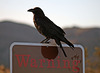 Raven at the Cholla Garden (3731)