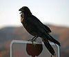 Raven at the Cholla Garden (3734)