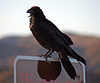 Raven at the Cholla Garden (3735)