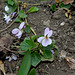 Viola odorata hybride