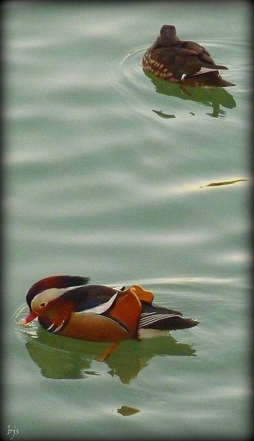 Canard mandarin des bords de Marne