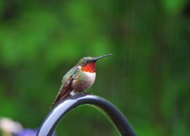 Ruby-throated Hummingbird in the rain