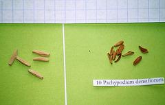 adenium obesum-pachypodium densiflorum 2