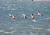Flamingoes at Sea