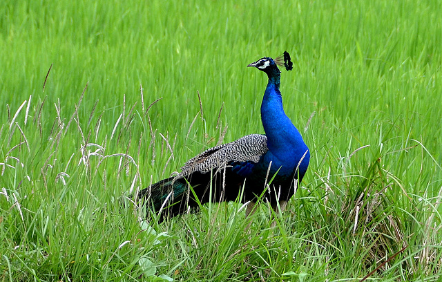 Peacock in rice field