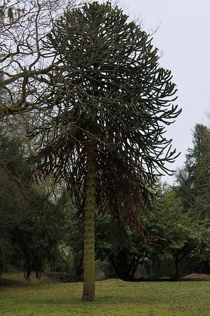 Araucaria araucana, Désespoir des singes arbre de la famille des Araucariacées