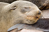 Dozing Seal Pup