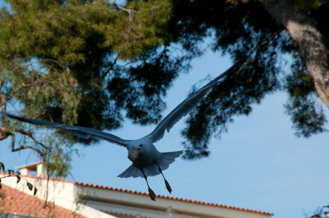 seagull flying away with food!