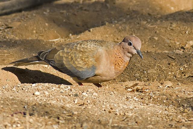 Tórtola Senegalesa ( Streptopelia senegalensis )