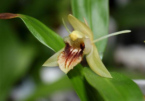 Coelogyne fimbriata (2)