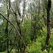 Der Nebelwald im Zentrum der Insel über 1000 m, Lorbeer- und Heidebusch-Bäume. ©UdoSm