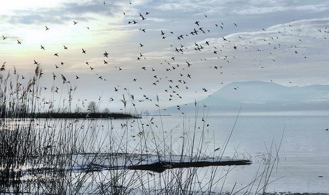 Des dizaines de canards s'envolent...