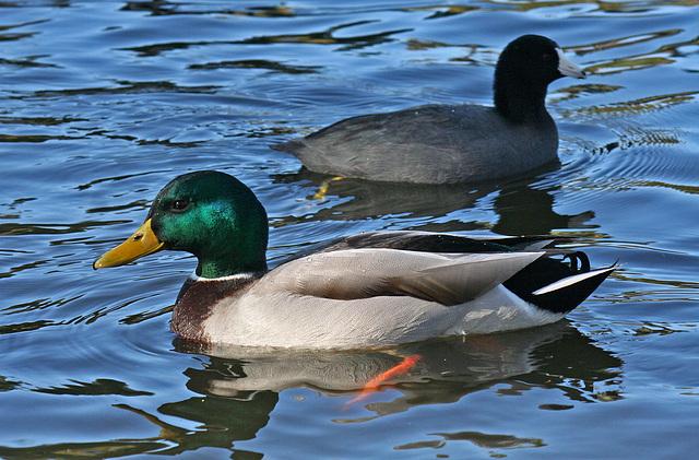 Ducks at Santee Lakes (1851)