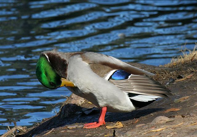 Ducks at Santee Lakes (2005)
