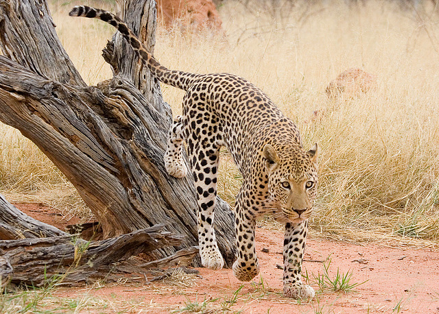 Leopard with Something on its Mind