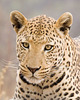 Collared Leopard