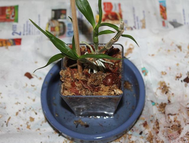 Sevrage d'un keiki de Dendrobium et rempotage
