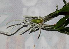 Sevrage d'un keiki de Dendrobium et rempotage (3)