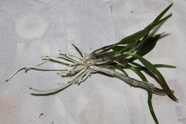 Sevrage d'un keiki de Dendrobium et rempotage (4)