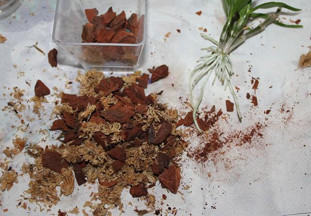 Sevrage d'un keiki de Dendrobium et rempotage (12)
