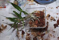 Sevrage d'un keiki de Dendrobium et rempotage (13)