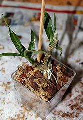 Sevrage d'un keiki de Dendrobium et rempotage (14)
