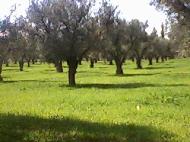 promenade dans le champ des oliviers