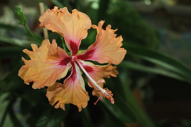 Hibiscus (3)