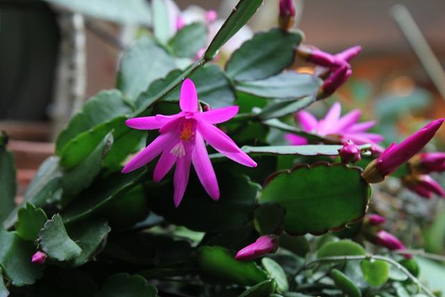 Rhipsalidopsis rose (3)
