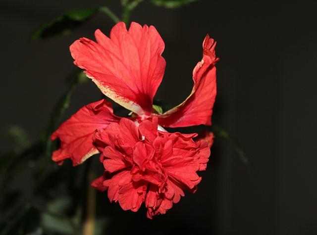 Hibiscus El Capitolio rouge (6)
